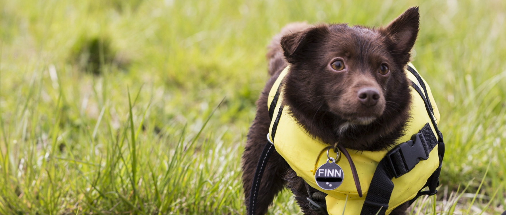 Finn the little dog is wearing his life jacket and he is ready for a swim