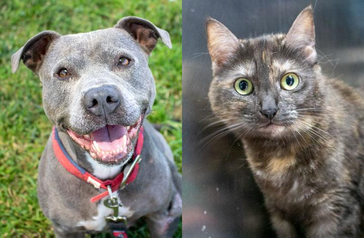 Gem is a blue staffy and Mitzy is a black tortoiseshell cat