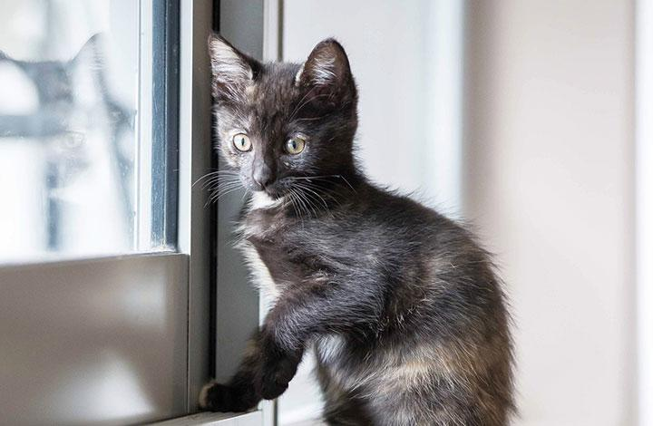 Kitten Looks our the Window Please fill out and return the kitten foster care agreement
