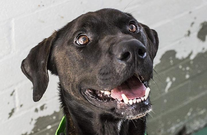 James Bond the Dog Looks up Happily Click for Info on Dog Foster Caring