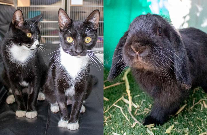 Pat and Jess are black and white cats and Panettone is a black bunny