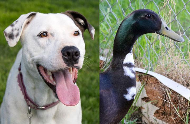 Pie is a large white dog and Heratio is a dark duck