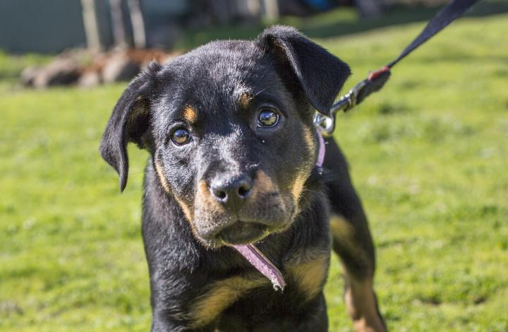 Angelica the labrador rottweiler puppy learning to walk on lead