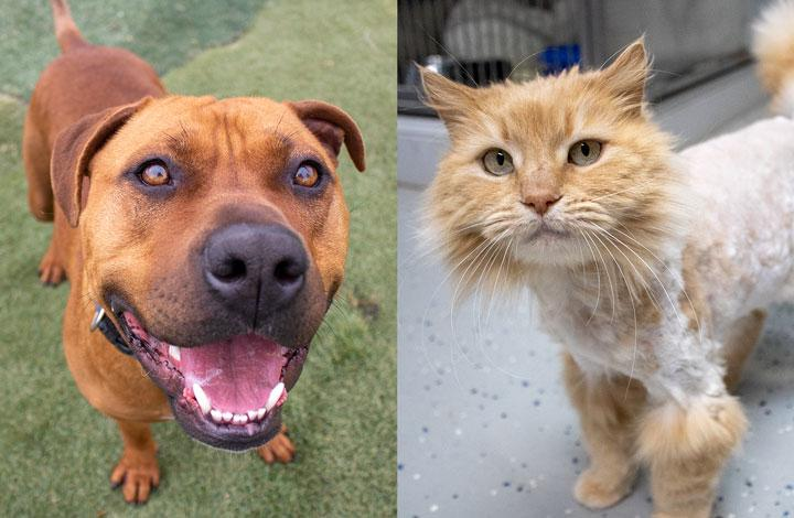 Kai is a smiley brown dog and Ginger Rogers is a fluffy ginger cat